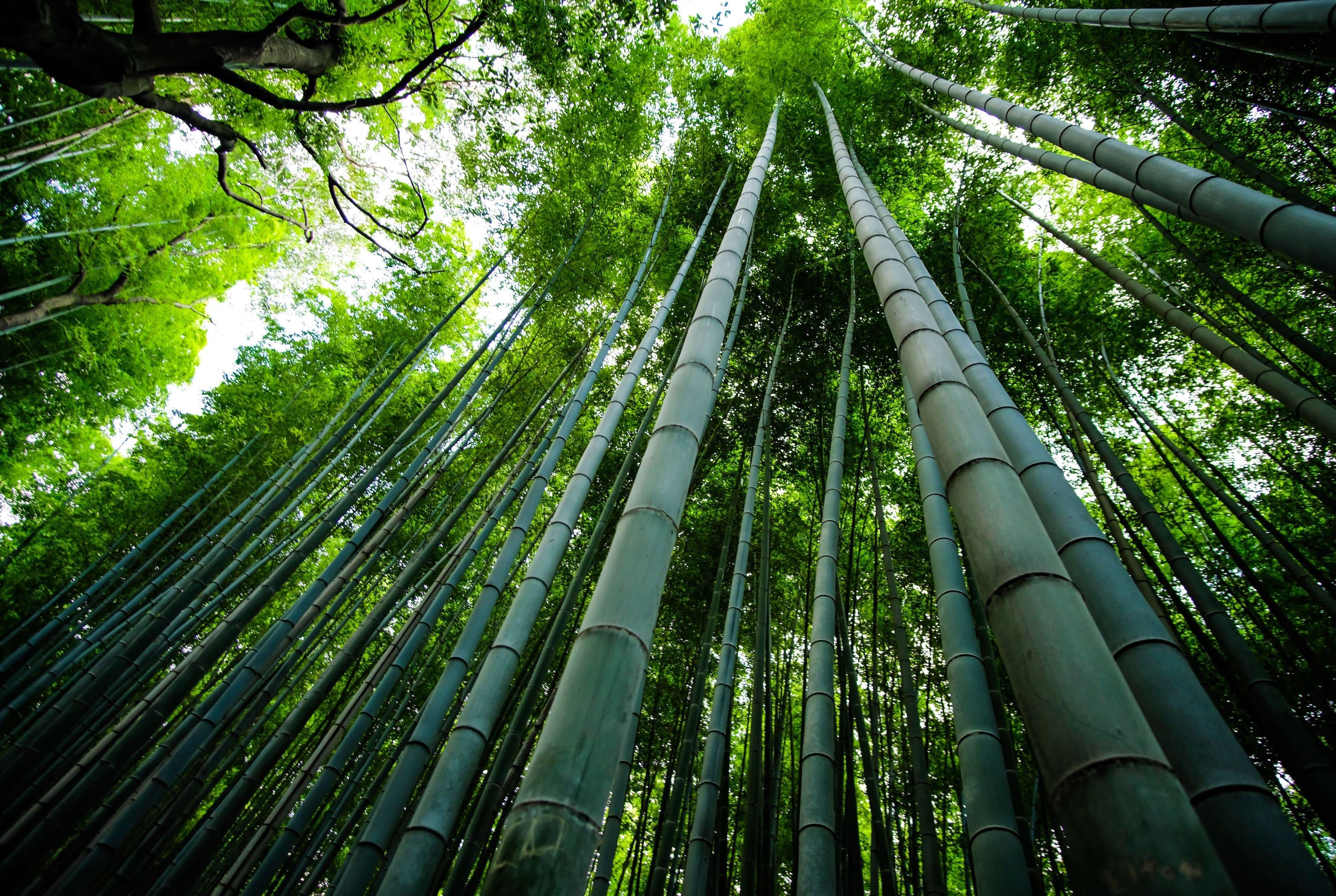 Le bambou est-il vraiment écologique ?