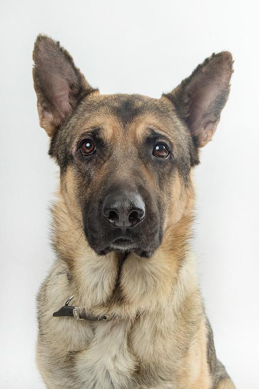German Shepherd named Asher