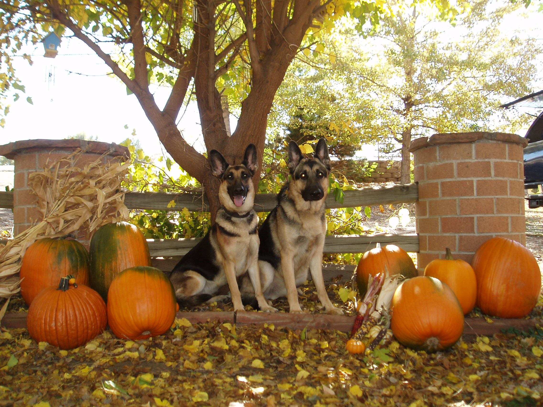 Dogs next to tree and pumpkins