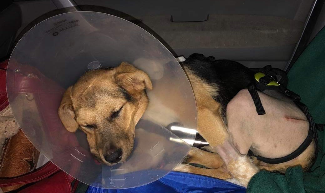 Little dog recovering from car injury.