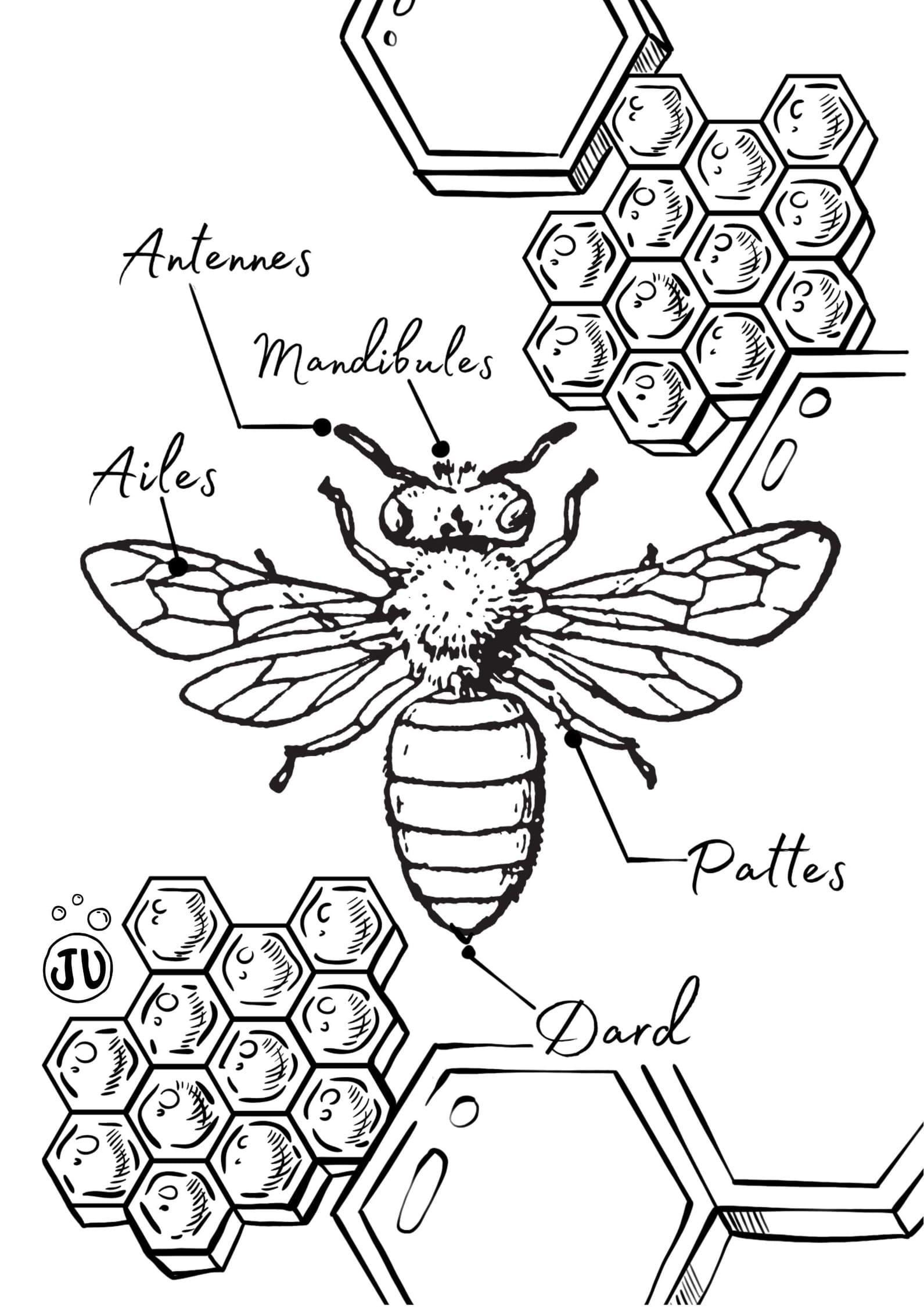 Coloriage abeille anatomie