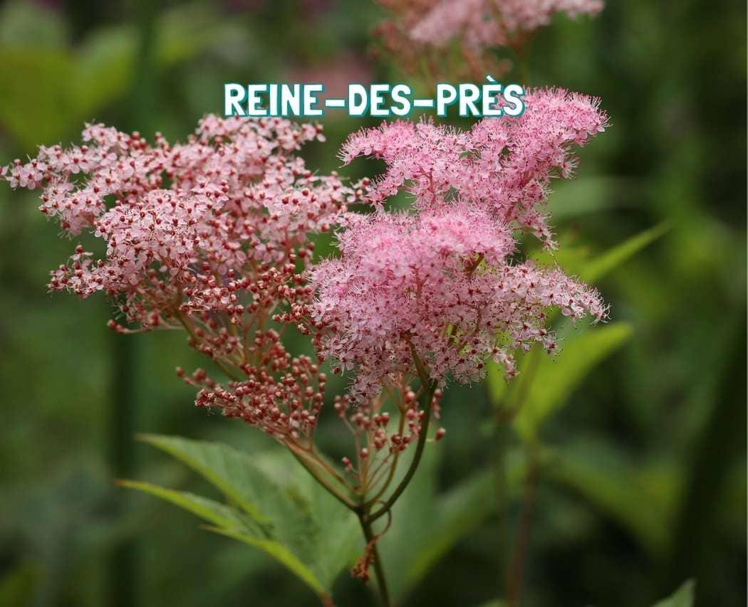 Reine-des-pres plante medicinale