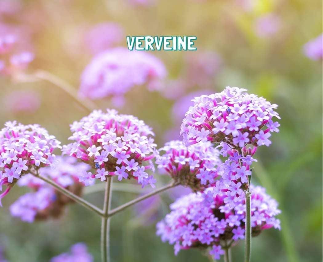 Verveine plante medicinale