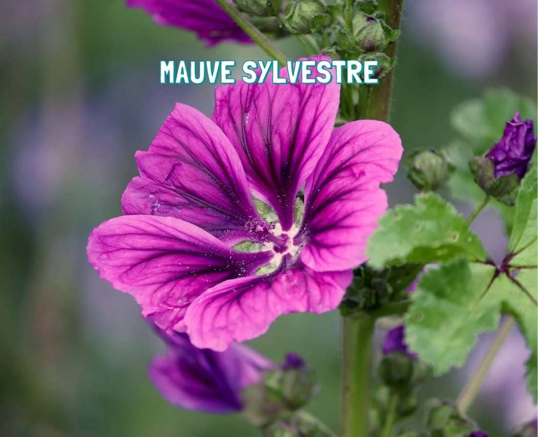 Mauve sylvestre