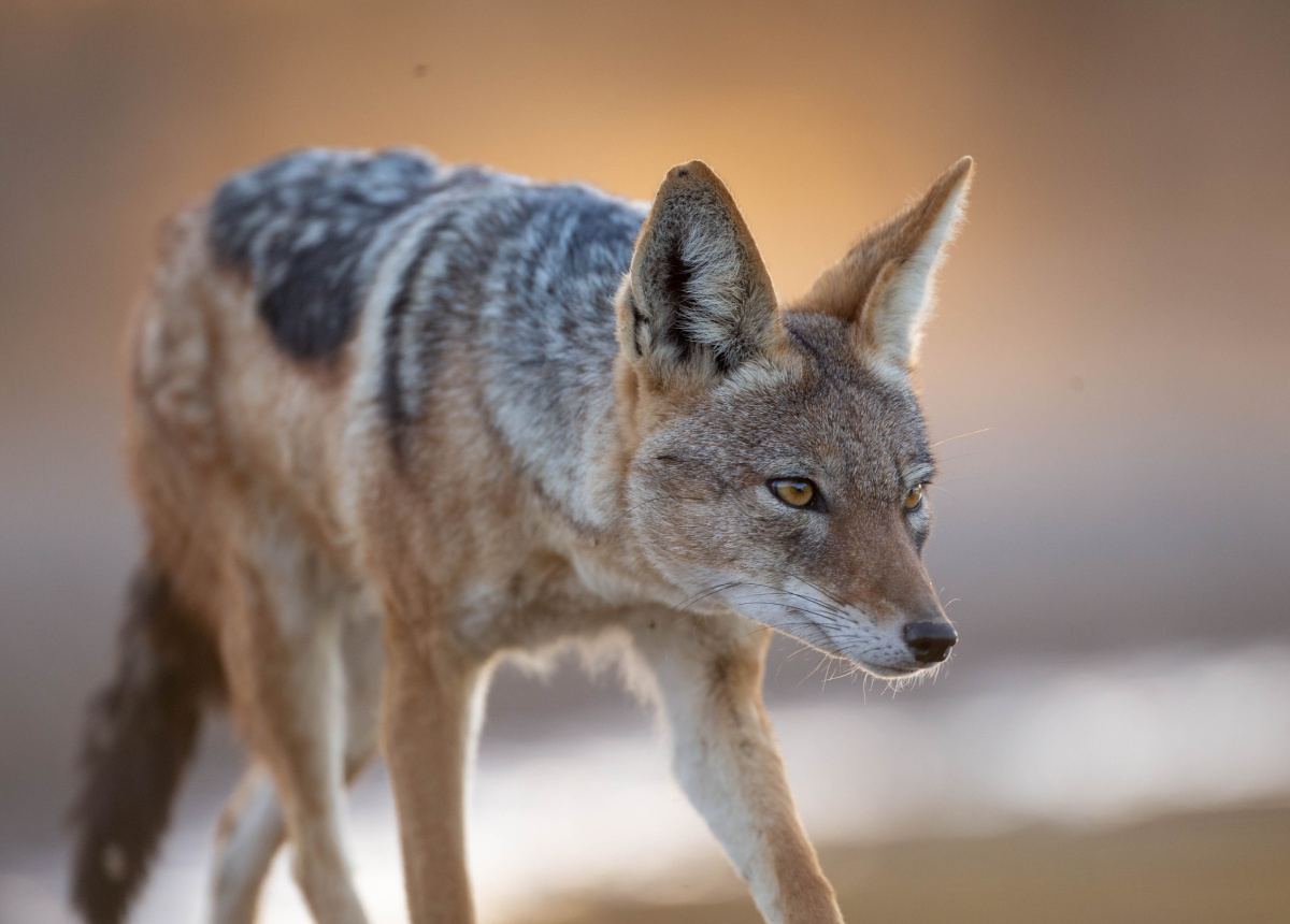 A Story of Jackals at a Hide   Botswana