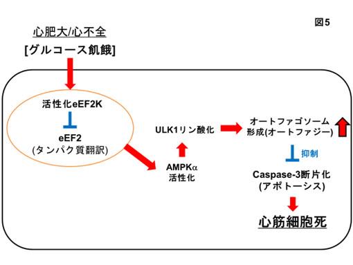 eEF2キナーゼ遺伝子ノックダウンはグルコース飢餓により誘導されるアポトーシスを促進する