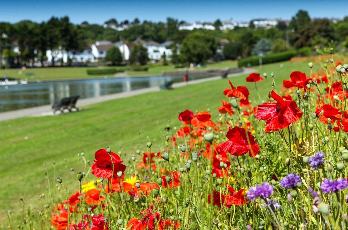 Poppies in Knap Gardens, Barry