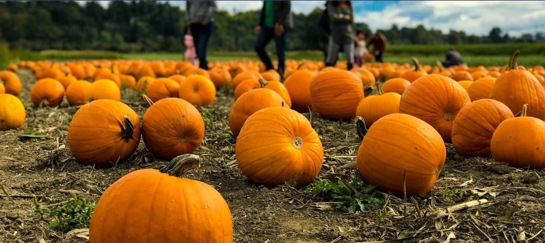 PYO Pumpkins at Penllyn Estate