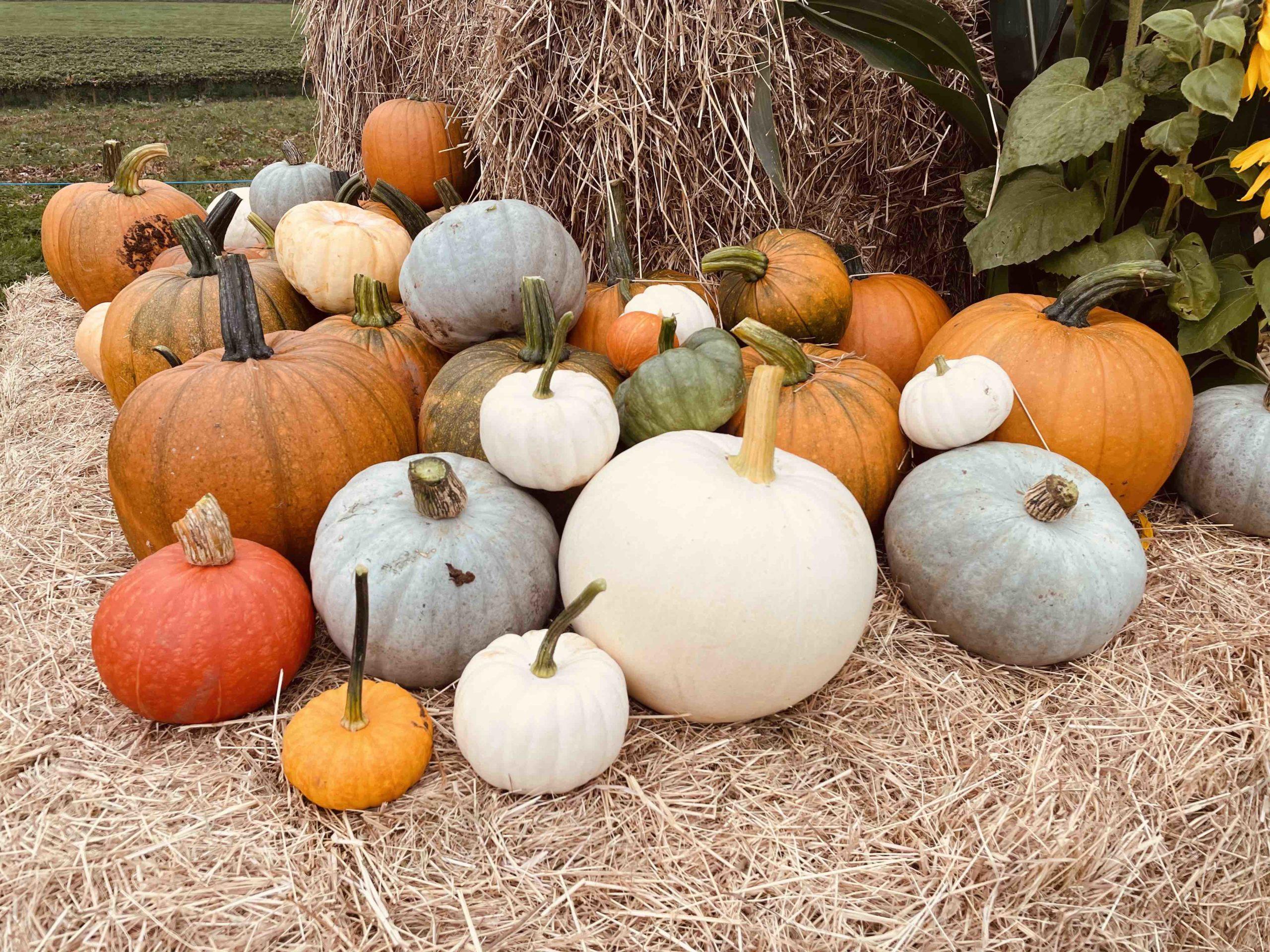 Vale PYO Bonvilston - Daytime and Twilight Pumpkin Picking