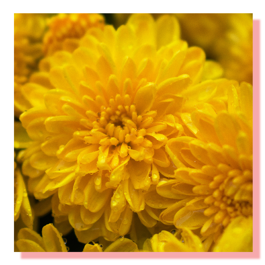 A close up shot of a yellow flower with dew drops