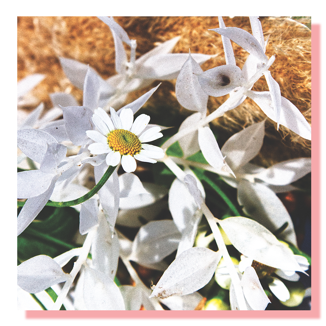 A collection of white daisys with one more prominent that the others.