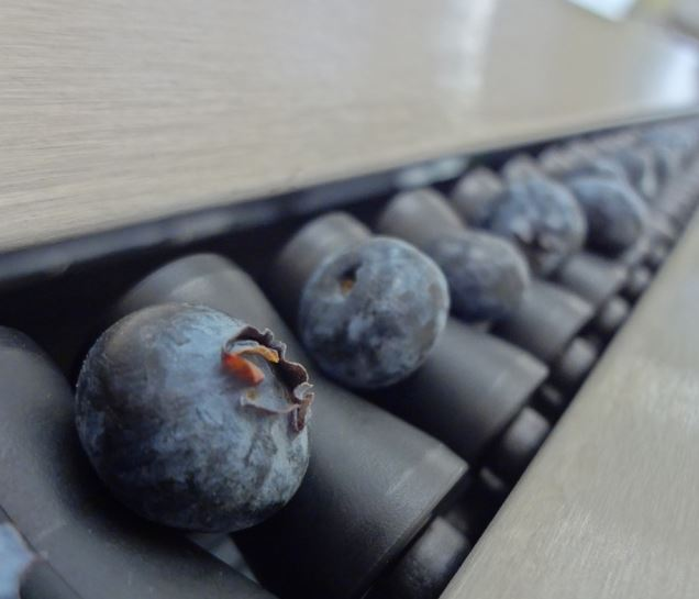 Premium blueberries being mechanically sorted