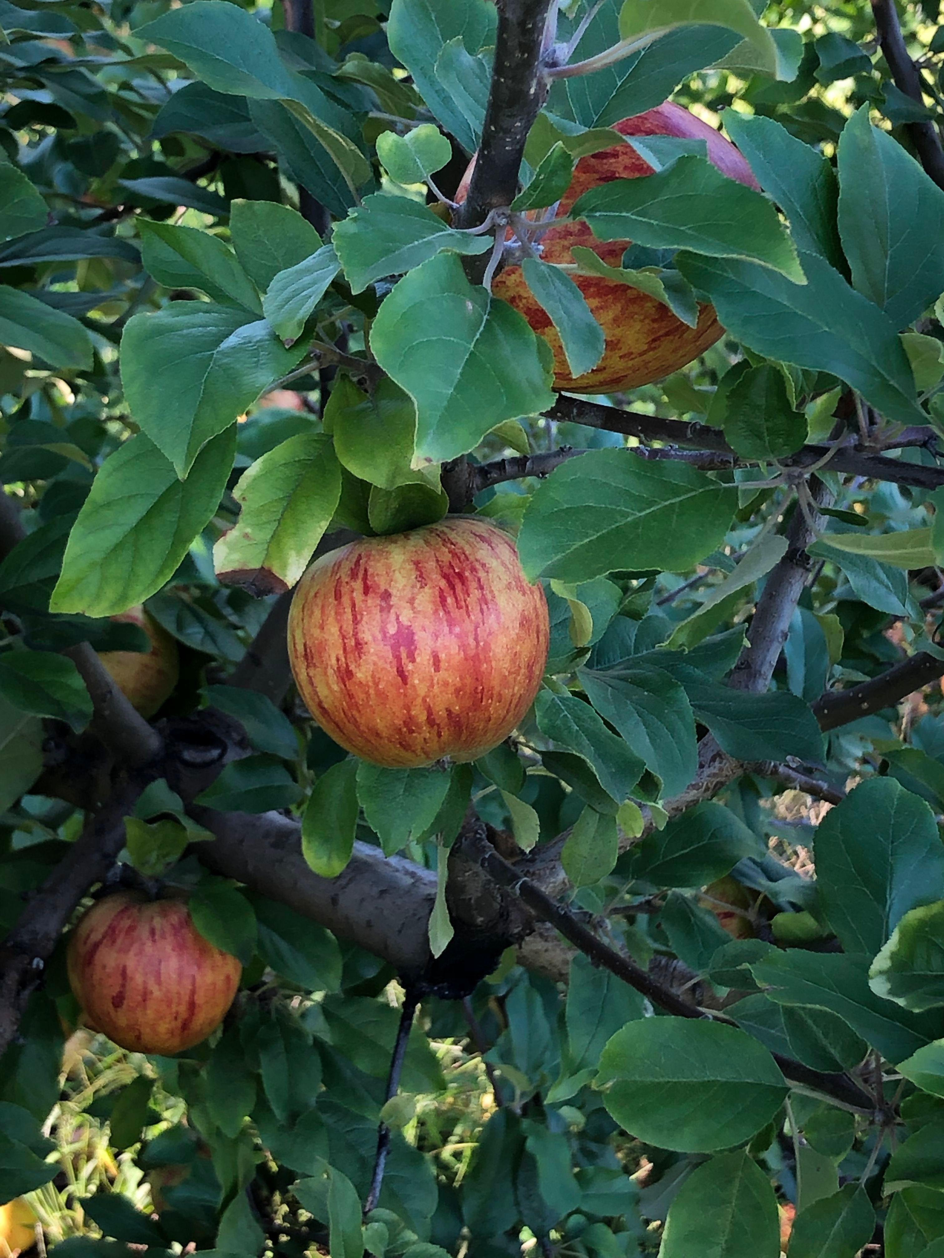 Uncle John's Cider Mill Apple Tree