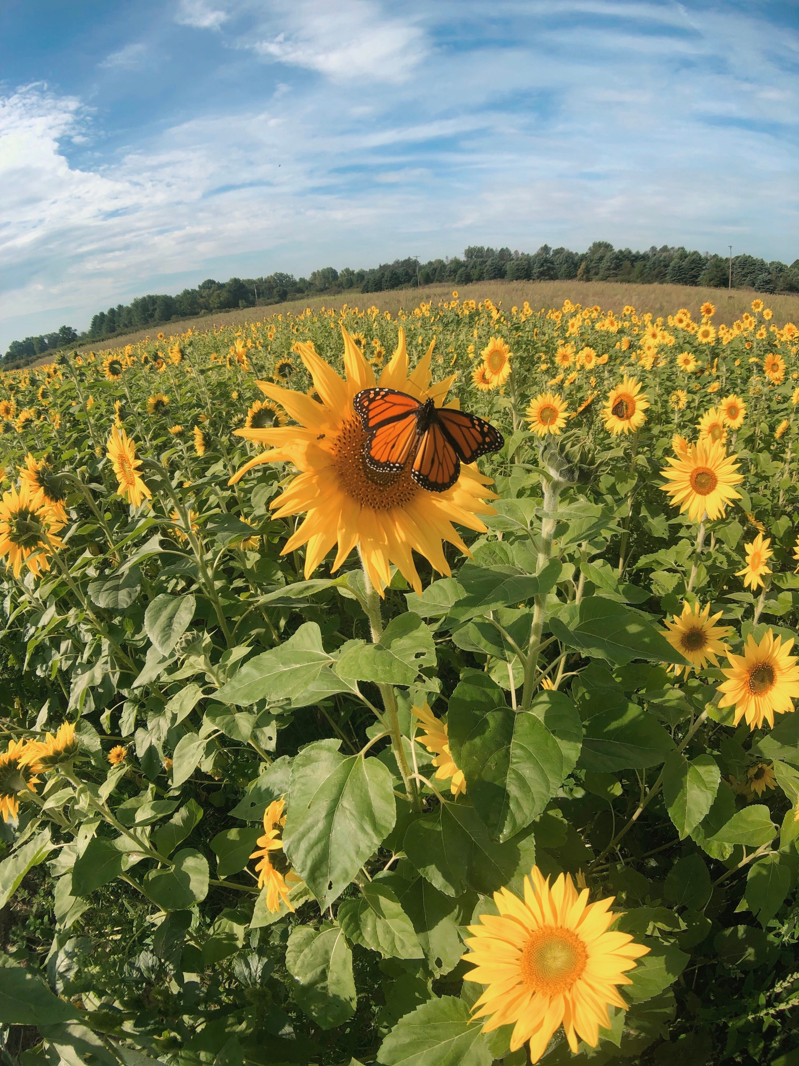 Uncle John's Cider Mill Sunflowers