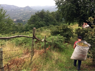 Turkey's Hazelnut Harvest