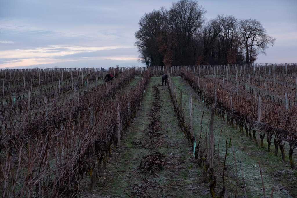 Taille des vignes en hiver au Domaine du Vieux Pressoir