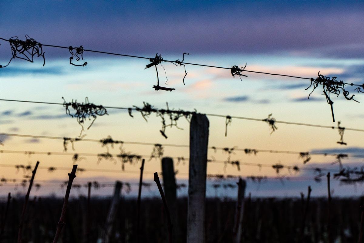 Vigne Saumur