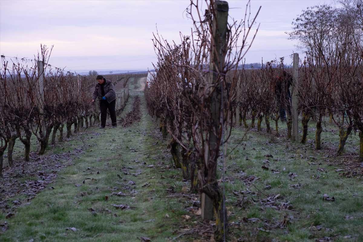 Taille des vignes au Domaine du Vieux Pressoir