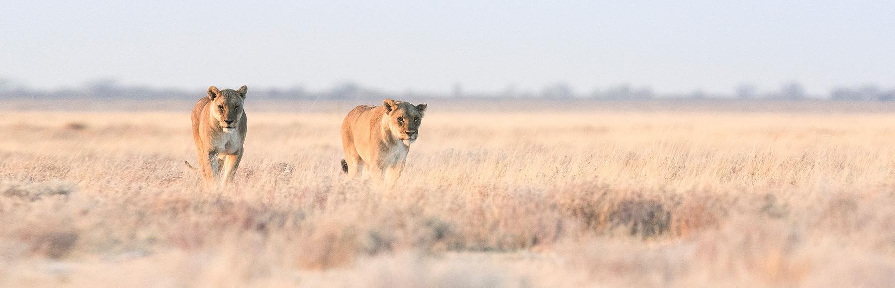 Lions in Etosha National Park
