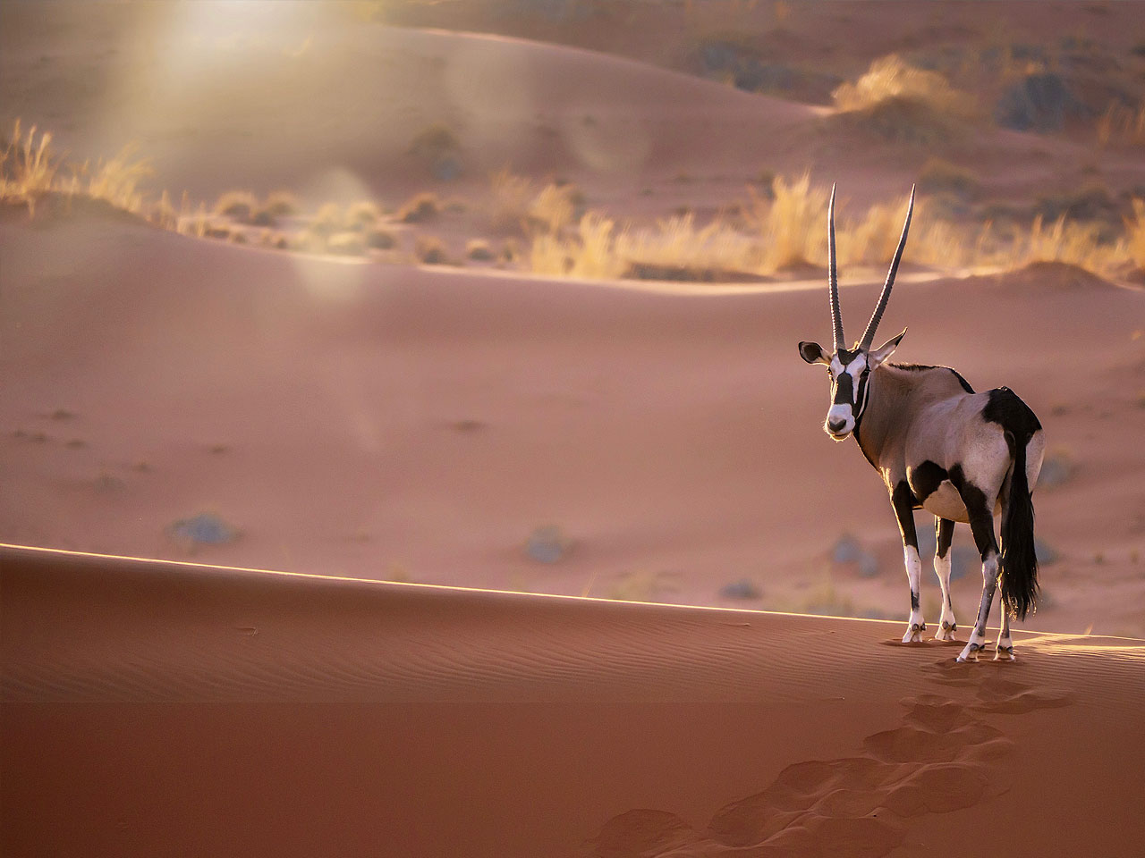 A lon oryx standing on a red sand dune in the light at sunrise.