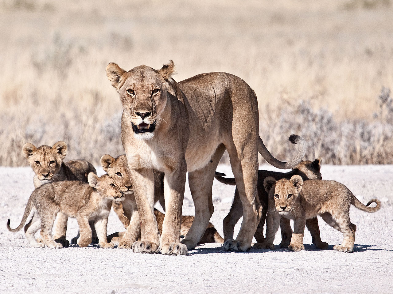 A female lioness with her cubs on a white gravel road in Etosha National Park.