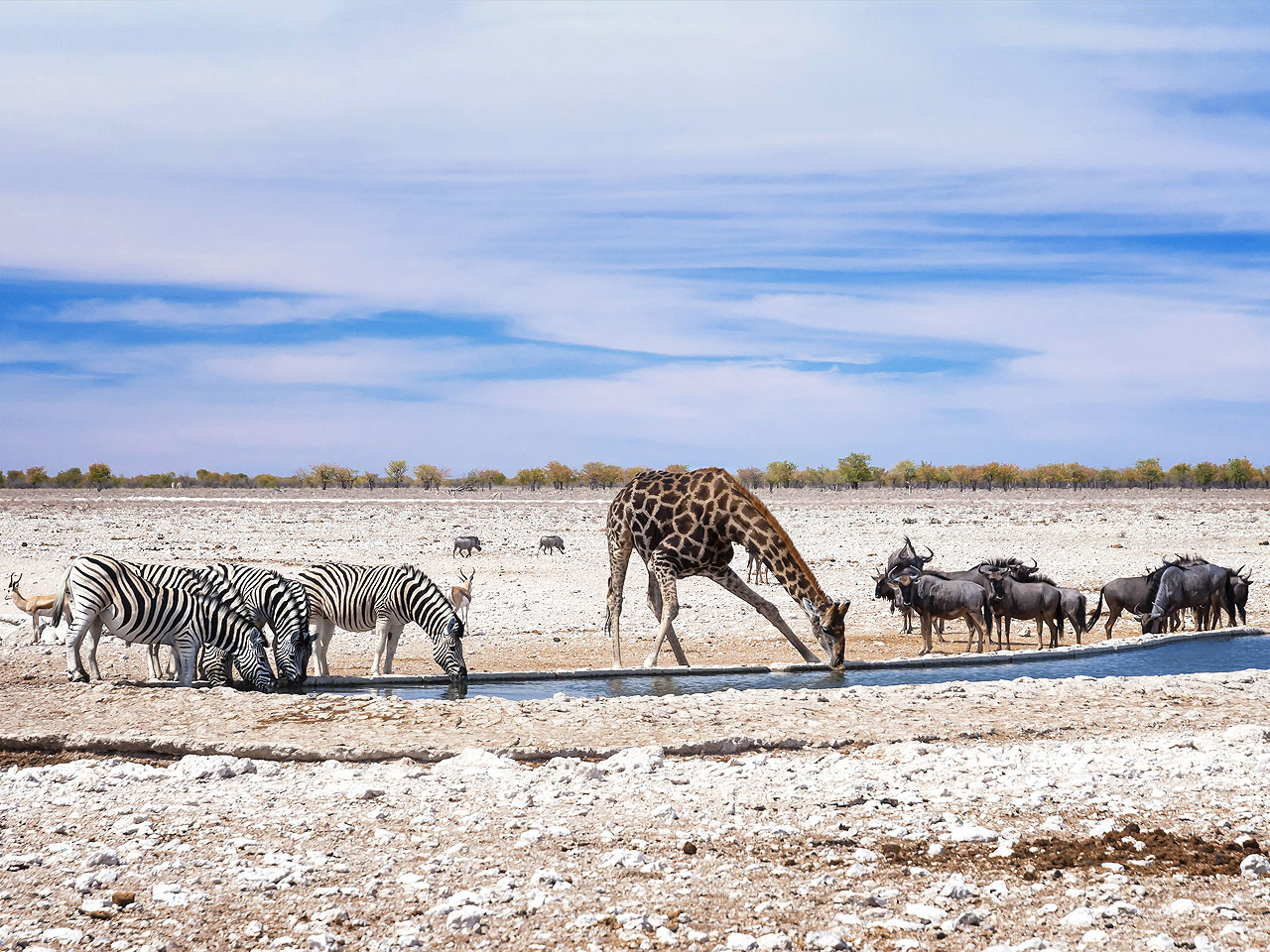 Zebras and a giraffe drinking at a waterhole in Etosha with wildebeest and warthogs nearby.
