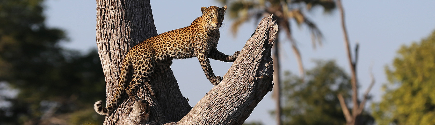 A leopard with a wet underbody looking out into the distance from a dead tree trunk.