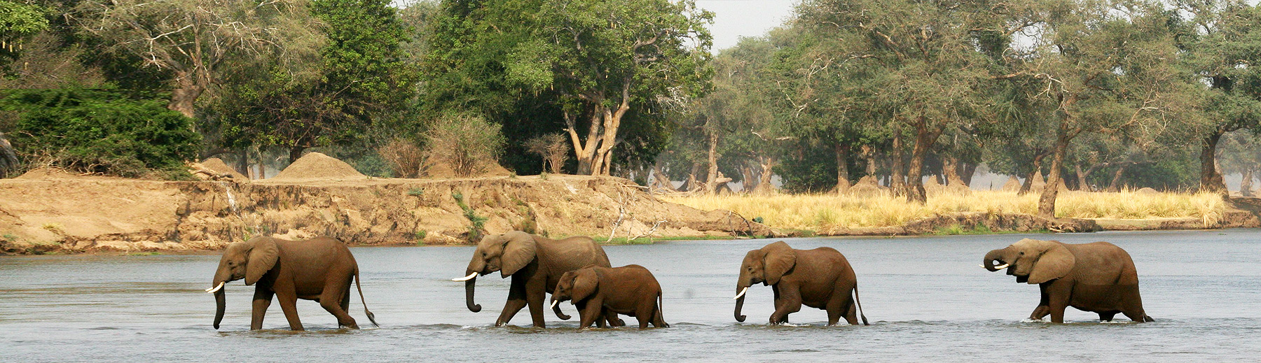 Five elephants walking in the river with a sand bank and trees in the background.