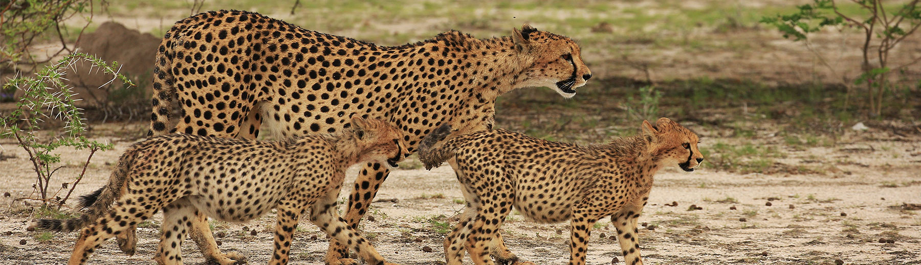 A female cheetah and two cubs walking by a thorny acacia.