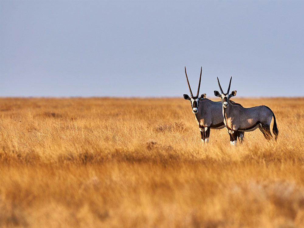 Two oryx standing in a dry yellow grassland looking attentively at the camera.