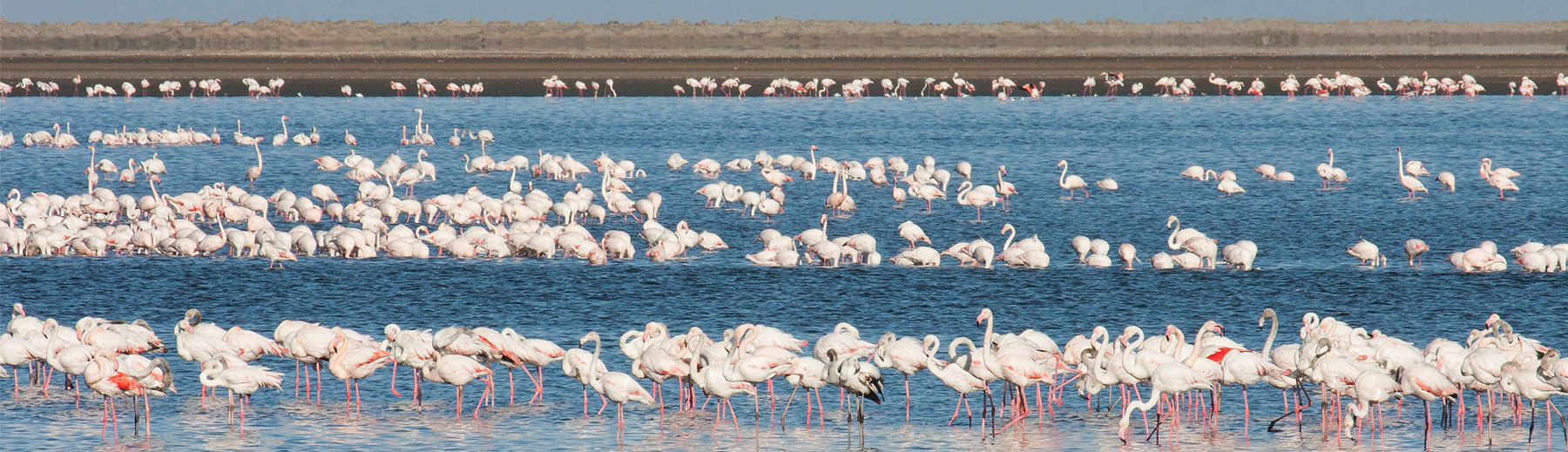 A panoramic view of thousands of flamingos at the Walvis Bay lagoon.