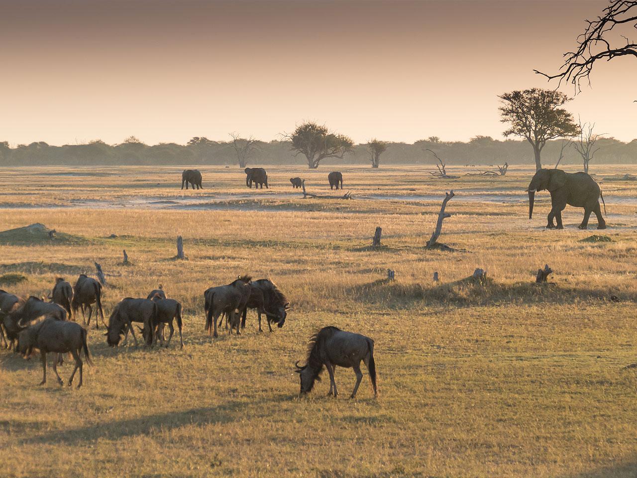 Elephants walking across a grass plain with widebeest grazing.
