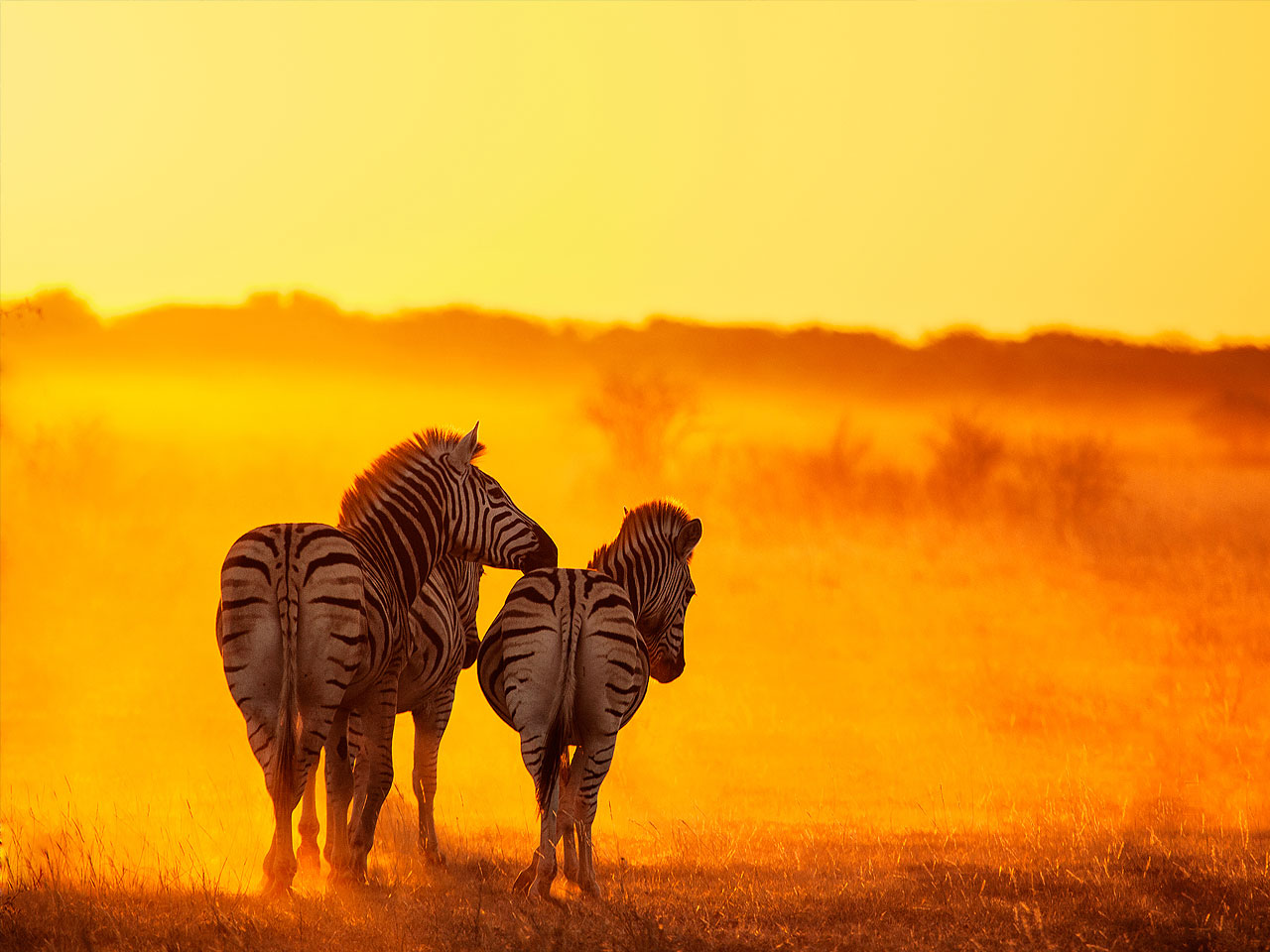 A close up of three zebras walking away in the yellow sunrise.
