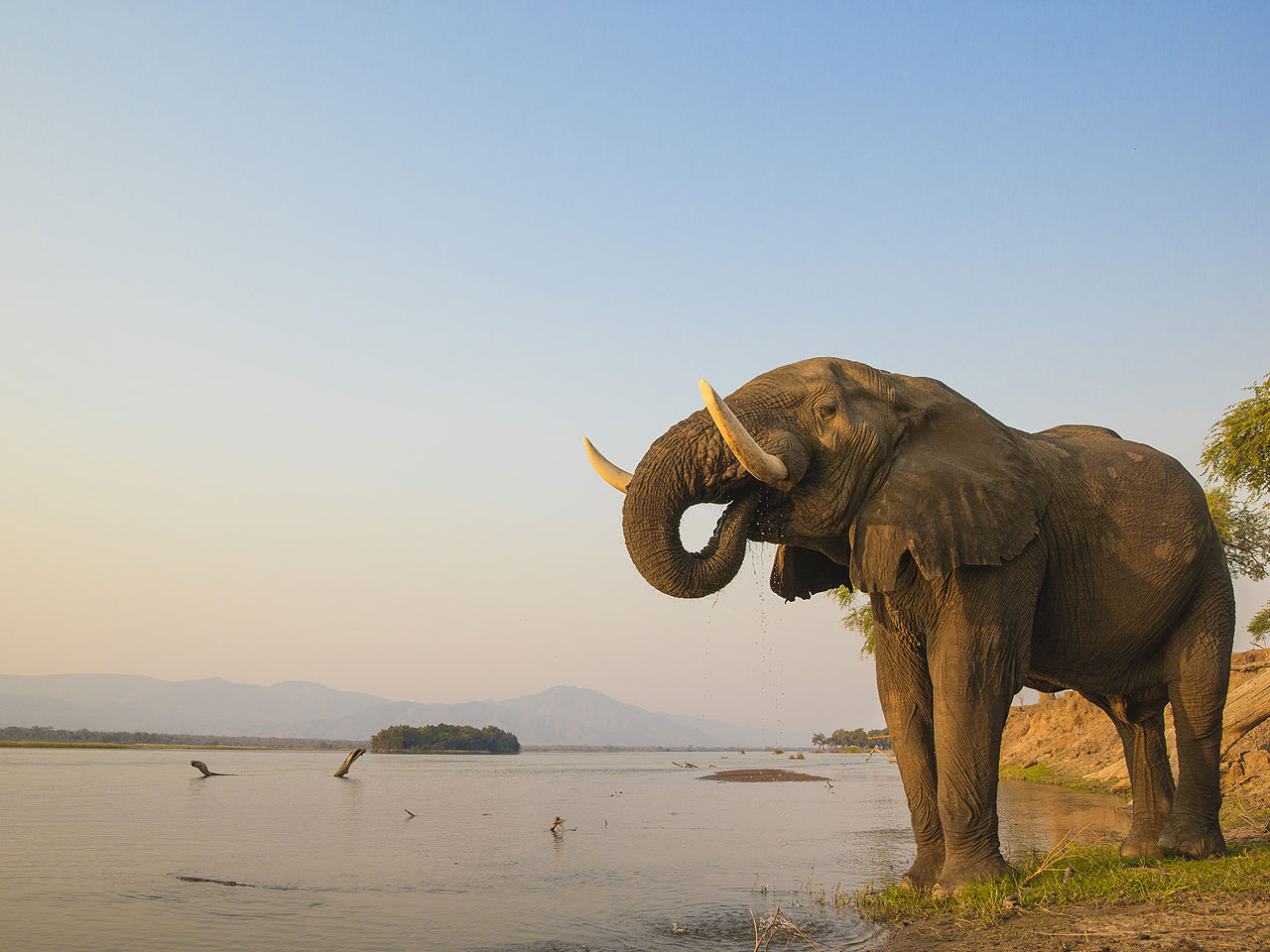 A close up of an elephant drinking water on the waters edge.
