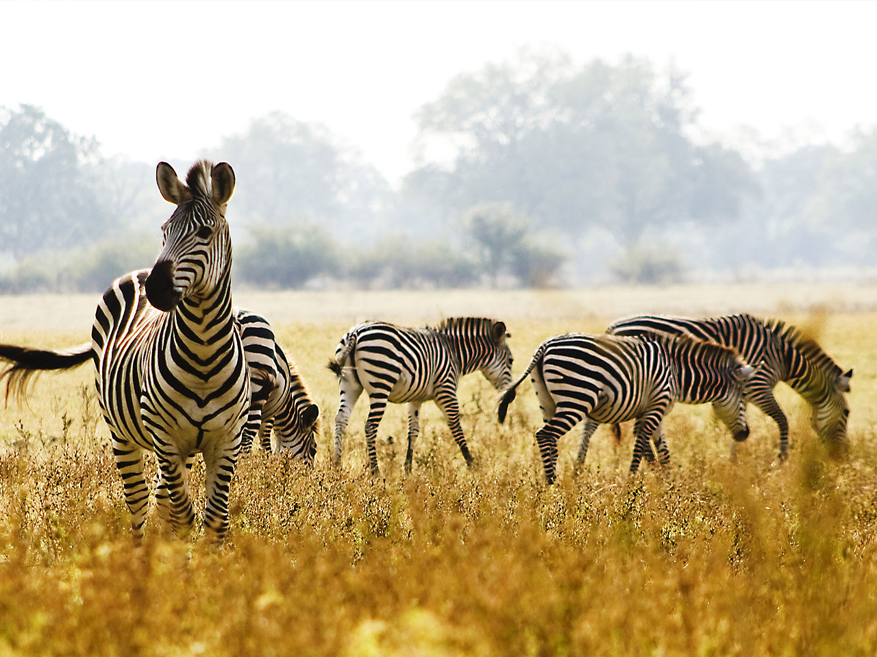 A zebra attentively looking into the distance as others walk behind in the grass.