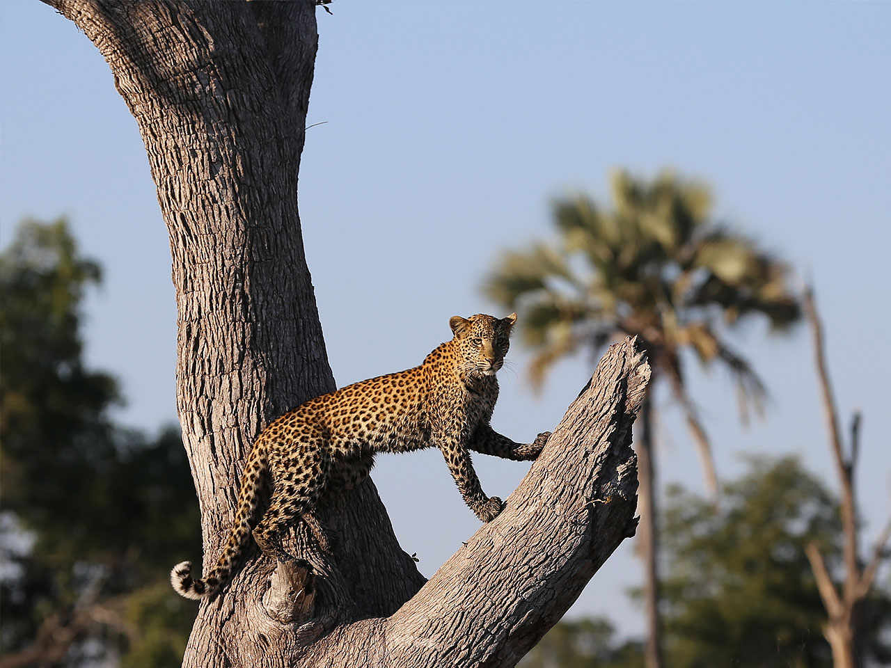 A leopard posing in a dead tree looking into the distance.