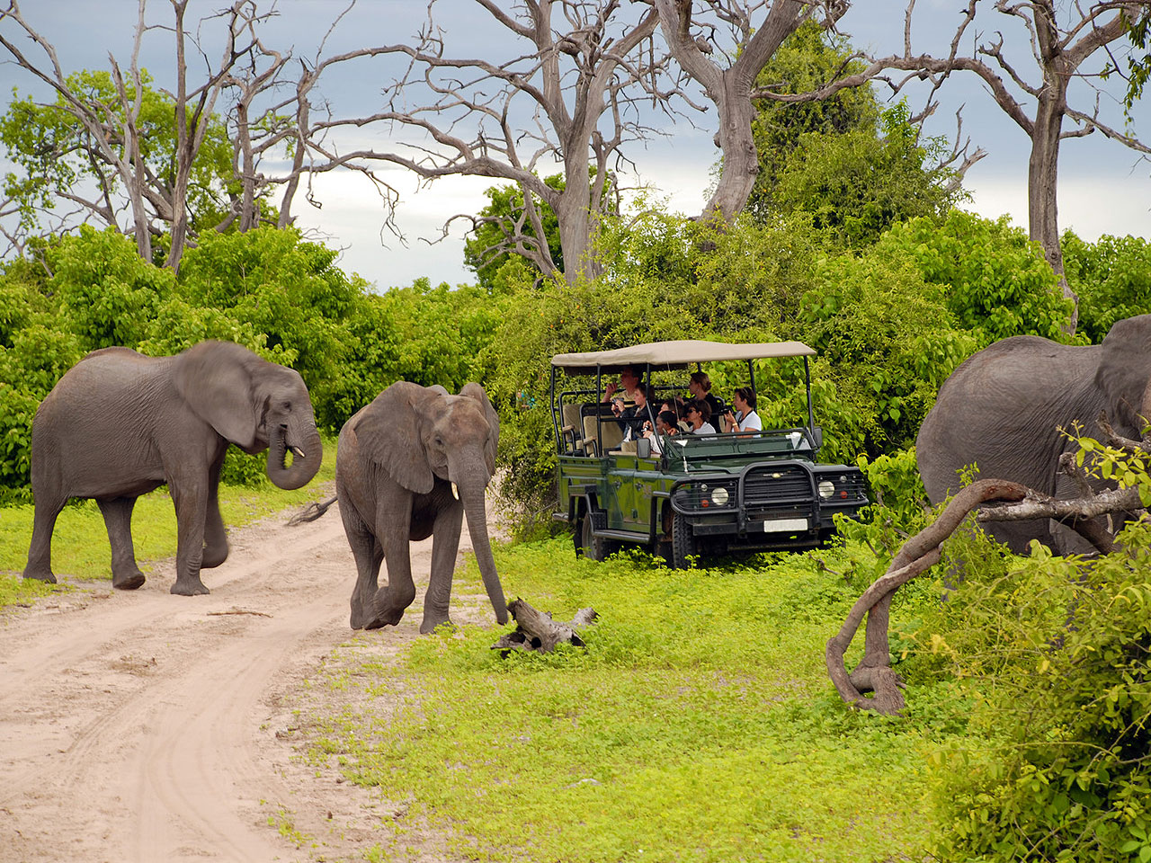 Elephants crossing a dirt road infront of an open safari vehicle of tourists in the bush.
