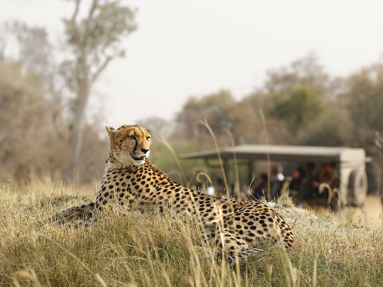 Close up of a cheetah lying on a grassy mound with a safari vehicle vaguely in the background.