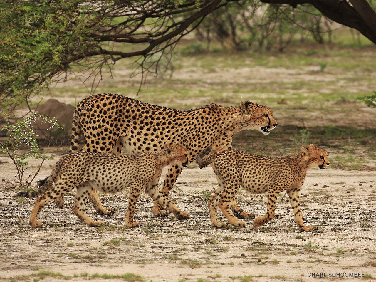 A female cheetah and two cubs walking beneath an acacia tree.