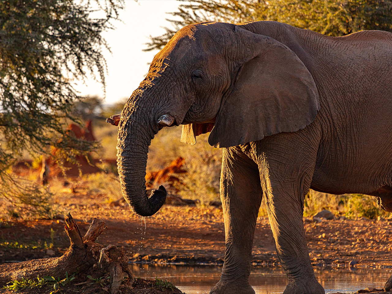 An elephant drinking water in front of two acacia trees.