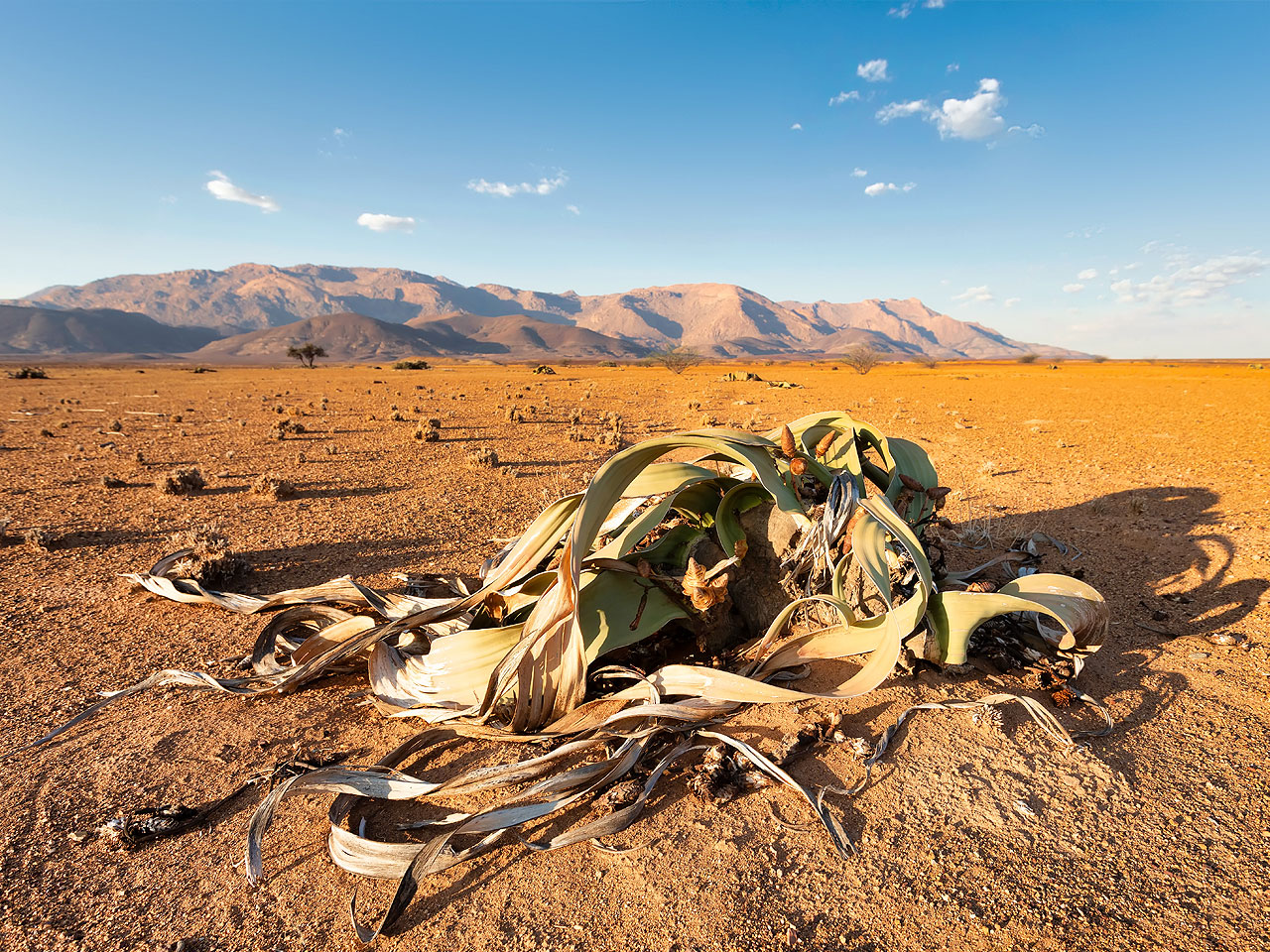 A Welwitschia Mirabilis plant on an open gravel plain with the mountains in the distance.