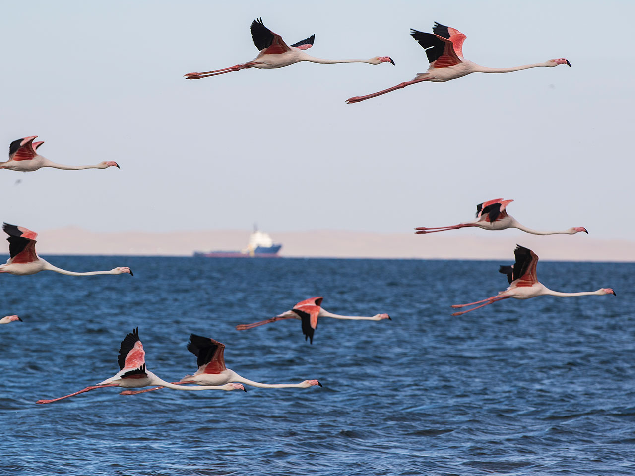 Flamingos flying over the ocean with a ship in the background.