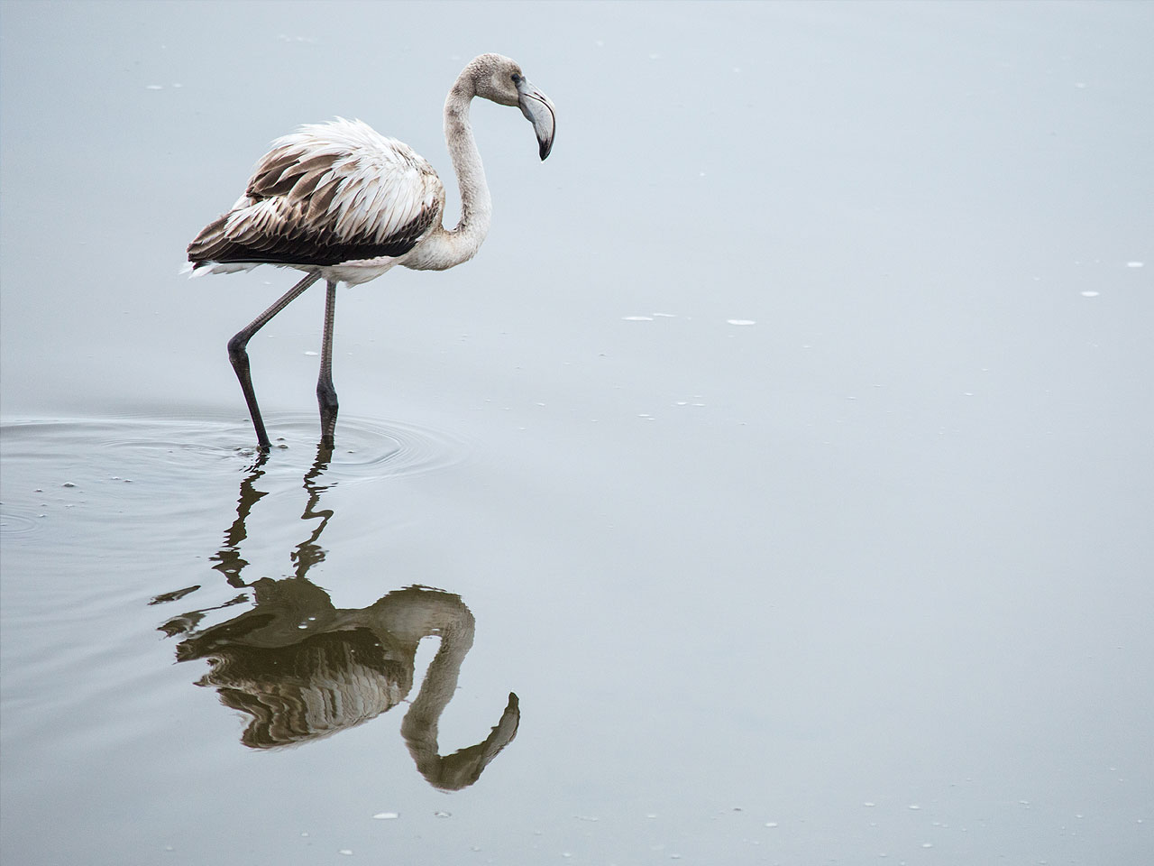 A flamingo and its reflection in the water.