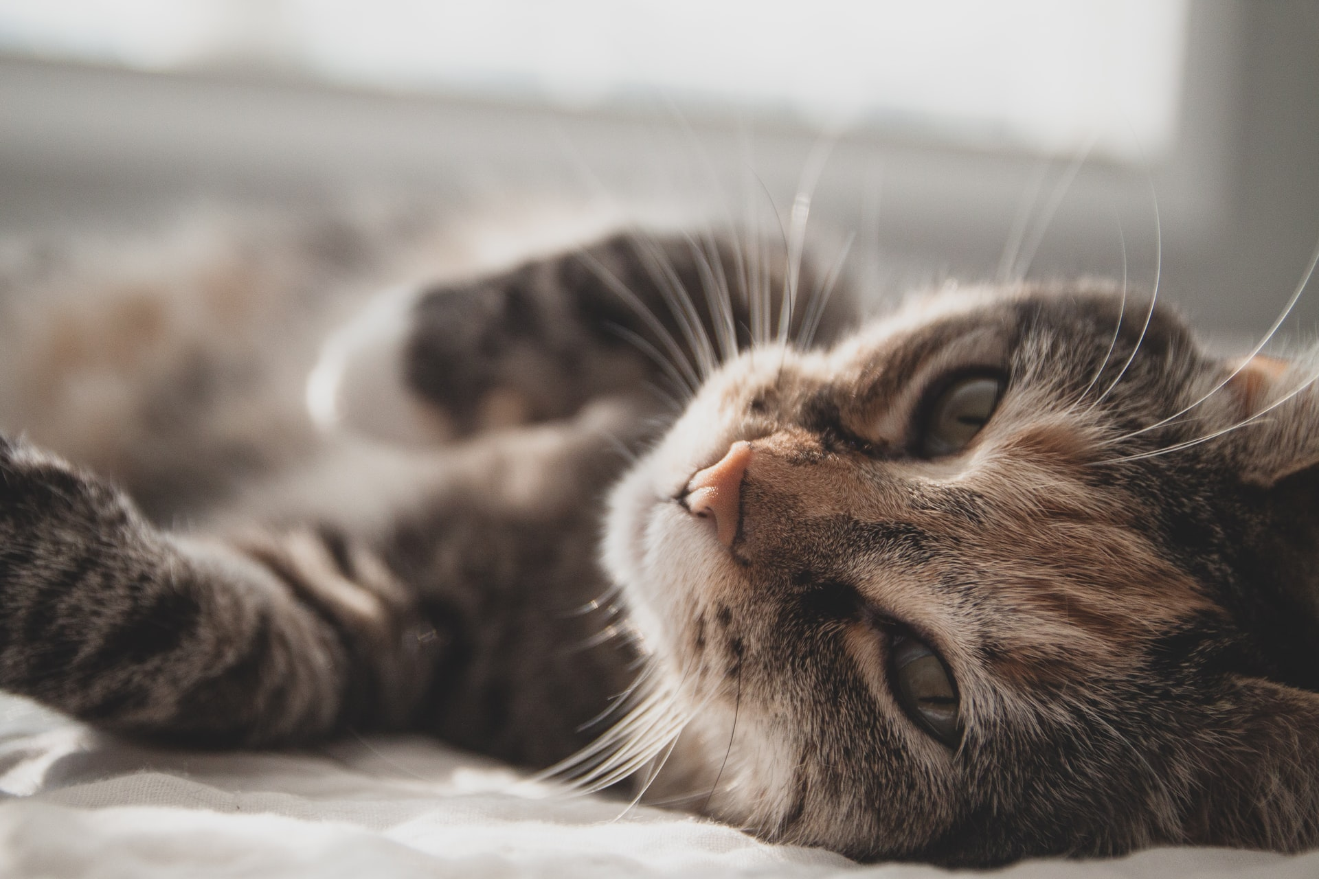 Cat laying on a bed with its belly and paws facing up while staring into the camera.