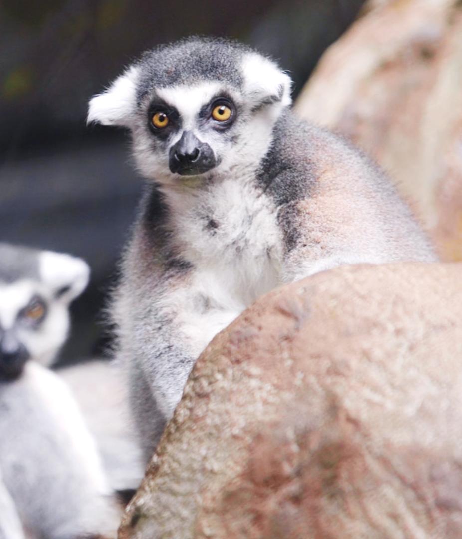 Episode thumbnail showing three ferrets