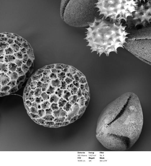 LVEM 5: Pollen Grains (SEM, gold coated)