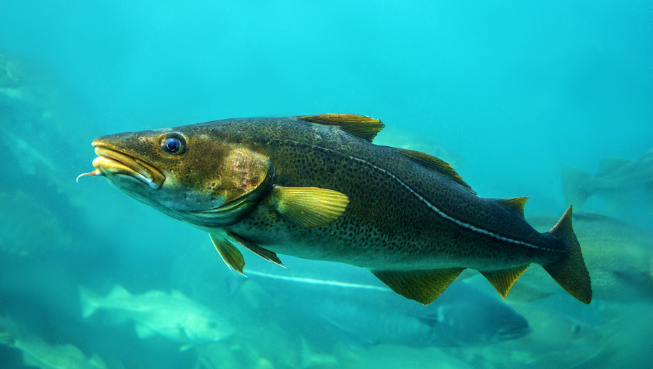 Cod offers a sustainable alternative to satisfy the growing demand for swim bladder and a highly lucrative revenue stream.