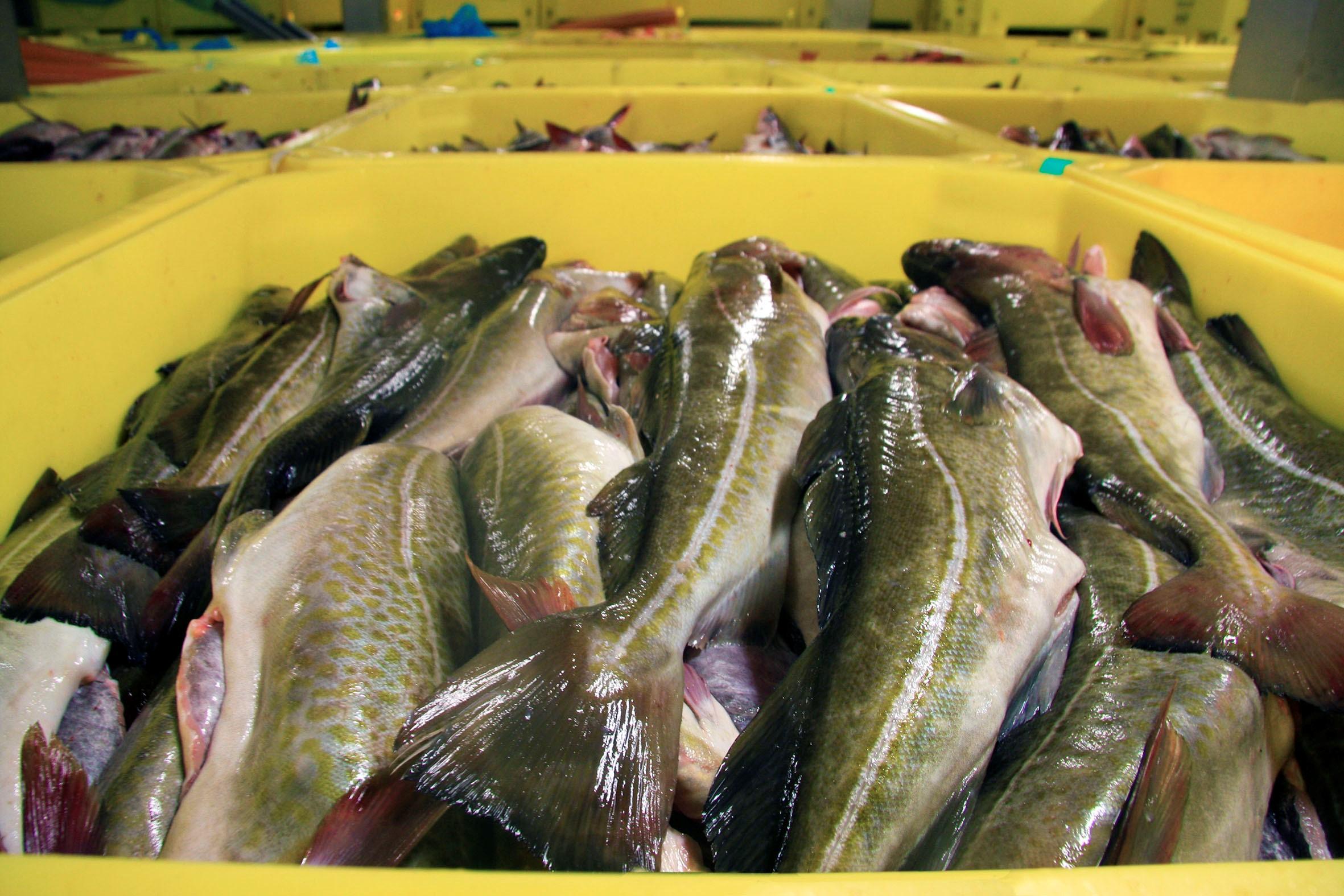 Málmey SK-1 landed 8.550 tonnes of fresh groundfish