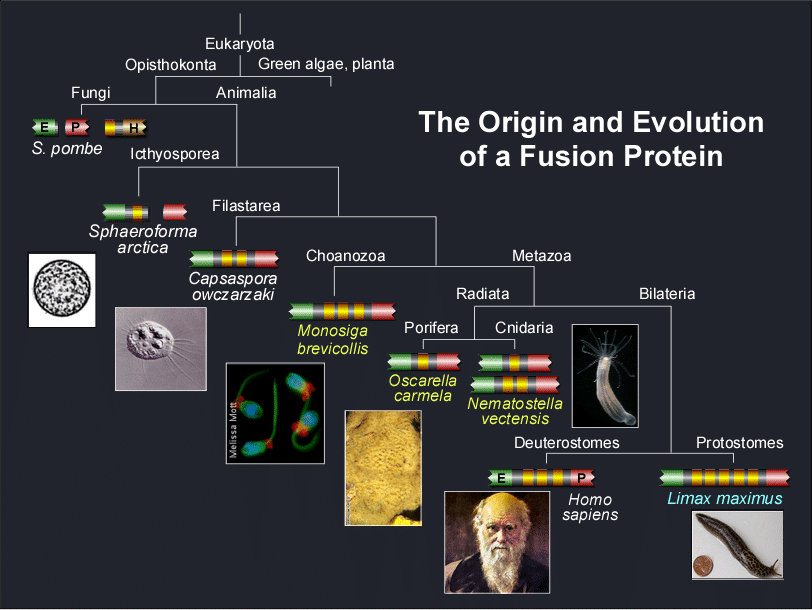 Timeline showing the orgin and evolution of a fusion protein