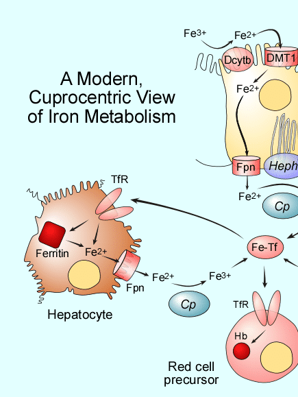 Graphic illustrating a uprocentric view of iron metabolism
